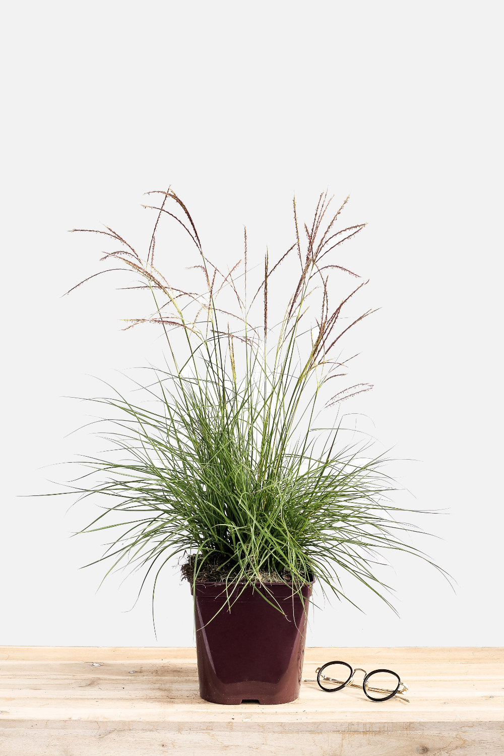 1161-1876-Miscanthus_Cute_One_pot_de_3_litres