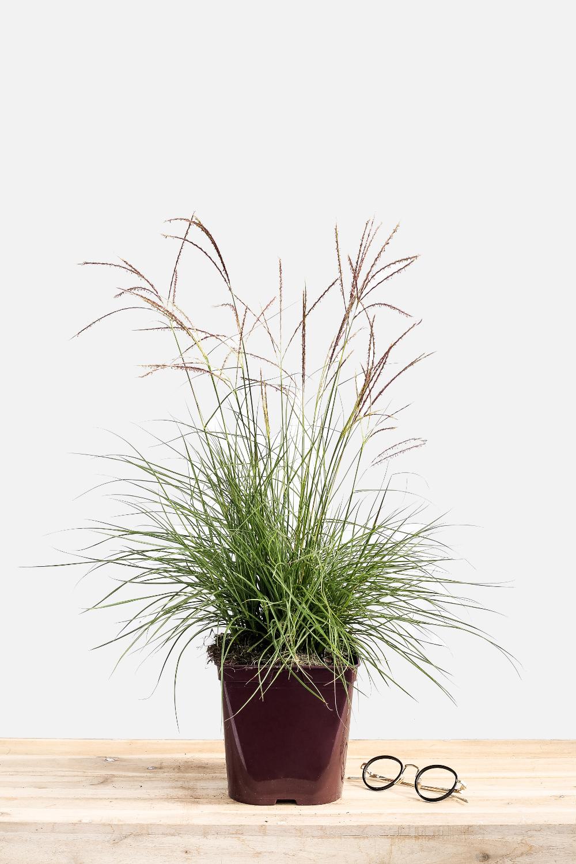 Quelle Plante En Pot Pour Terrasse quelles graminées pour mon jardin, mon balcon ?