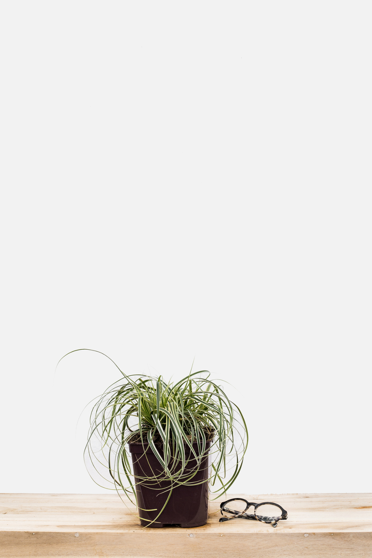 1167-1947-Carex_Feather_Falls_pot_de_3_litres