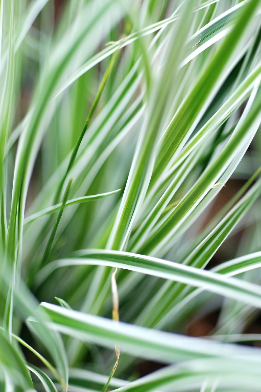 583-2-Carex_Everest_DSC_0119