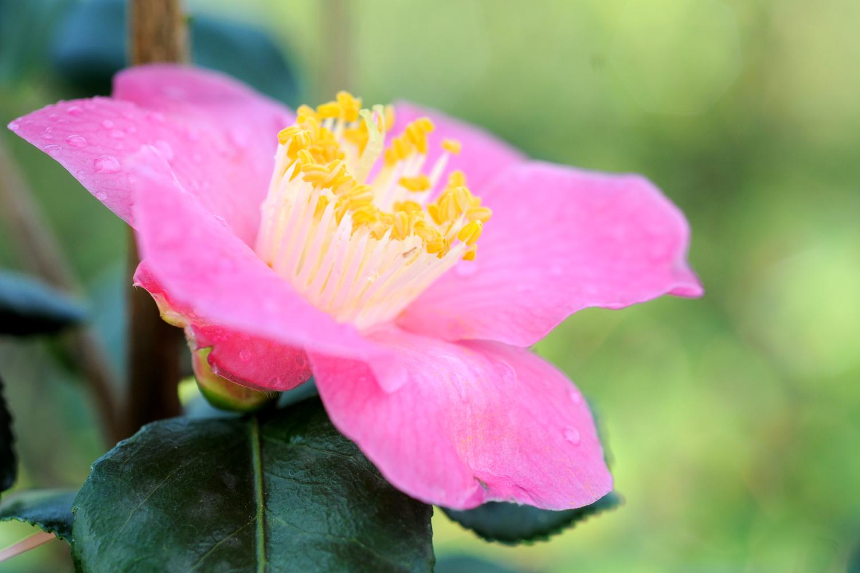 Quelles Fleurs Planter Fin Aout où, quand et comment planter son camélia ? - in my french garden