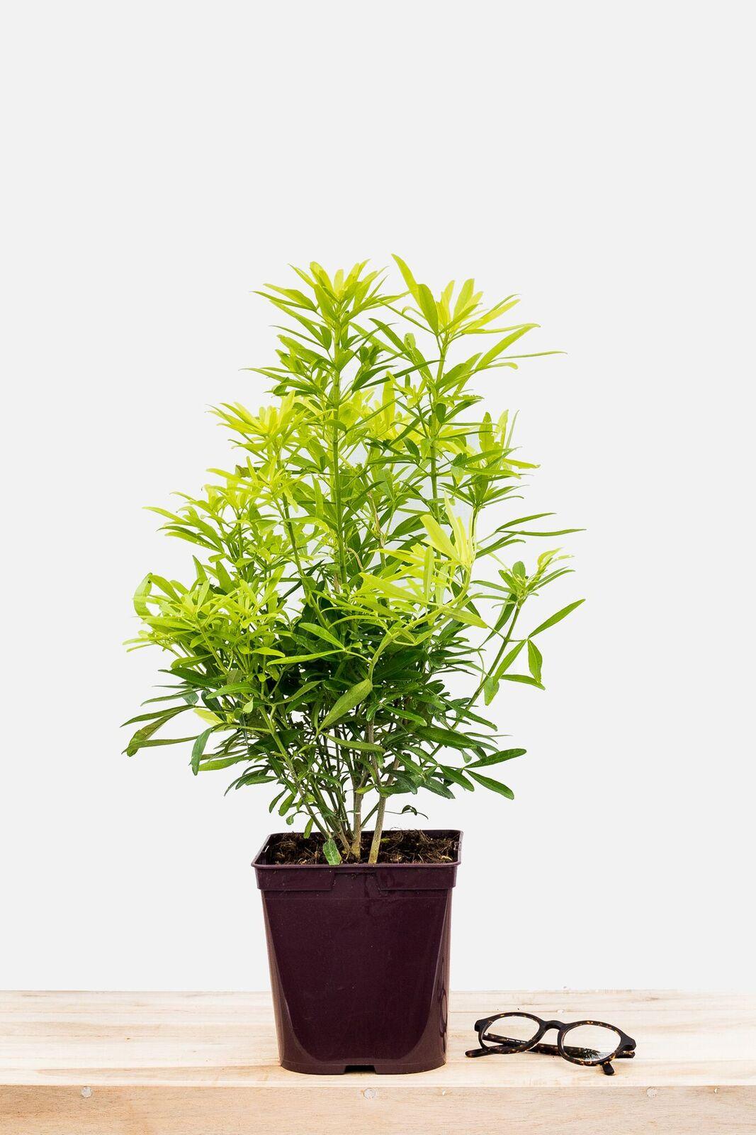 Arbuste Persistant Pour Pot les choisyas - orangers du mexique - in my french garden