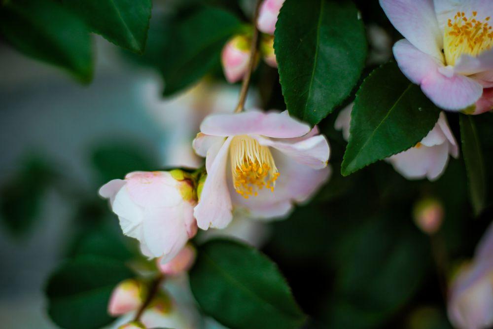 CAMELLIA Spring Mist-imfg-fevrier-2