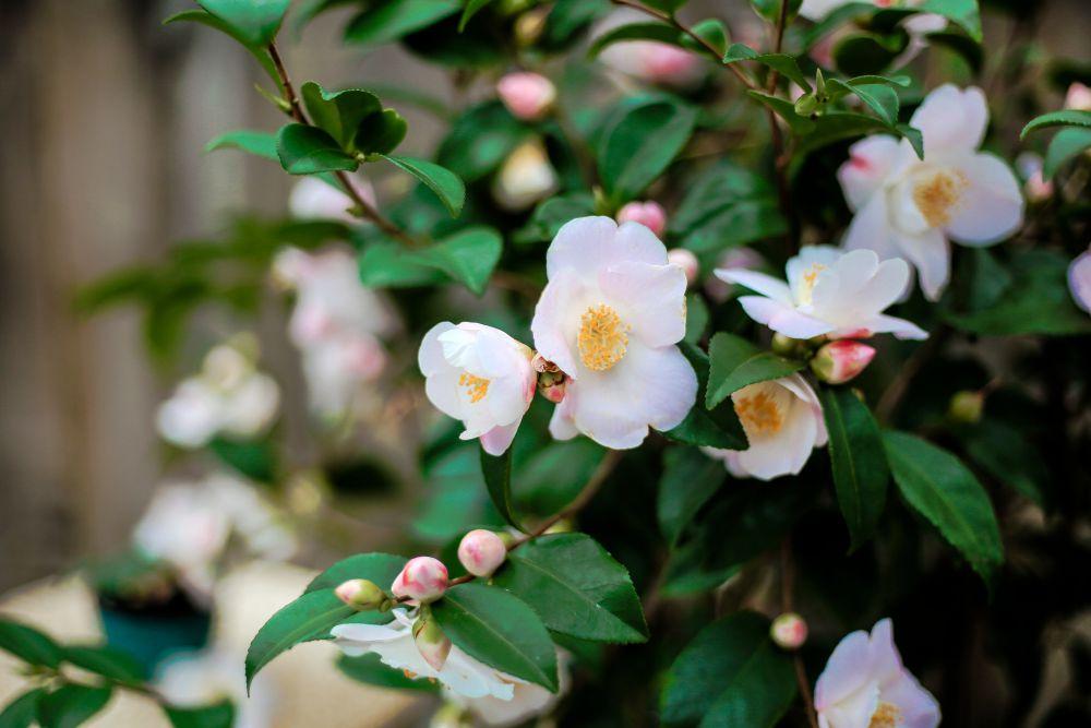 CAMELLIA Spring Mist-imfg-fevrier-30