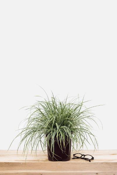 Carex_Everest_pot_de_3_litres(2)
