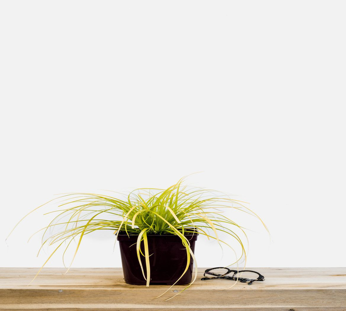 Carex_Everillo_pot_de_3_litres