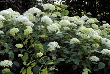 Hydrangea arborescens 'Annabelle'. Hortensia. Collection Pépinière Roué