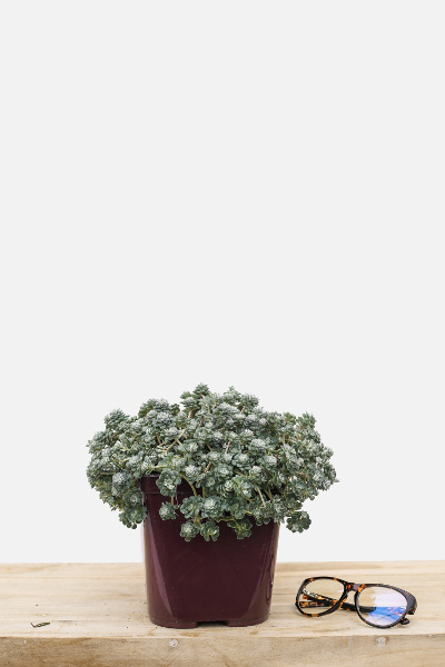 Sedum-cape-blanco-pot-de-3-litres-imfg-mars-18-31