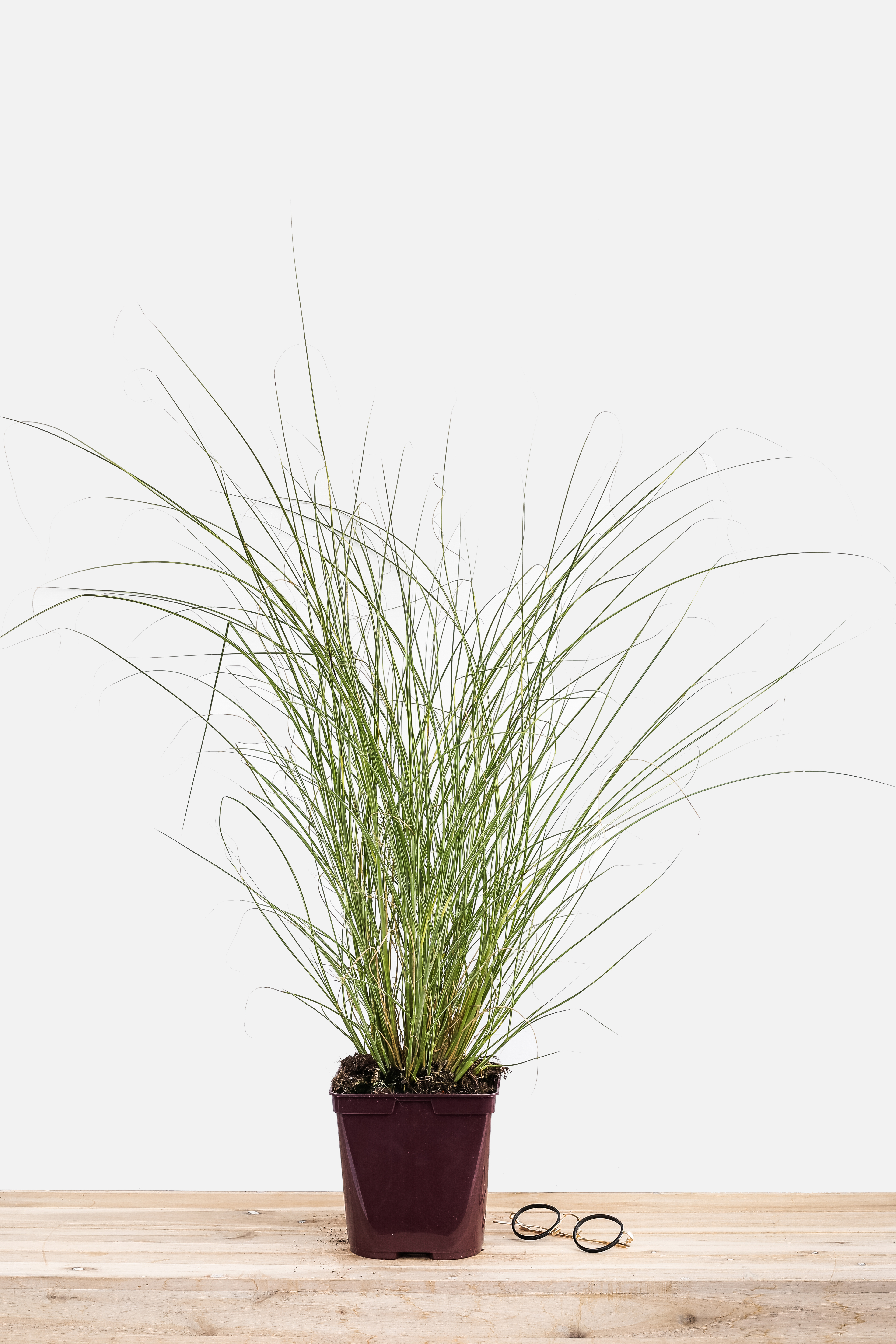 452-1625-Miscanthus_Morning_Light_pot_3_litres