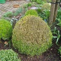 Quelles plantes pour remplacer mes buis ?