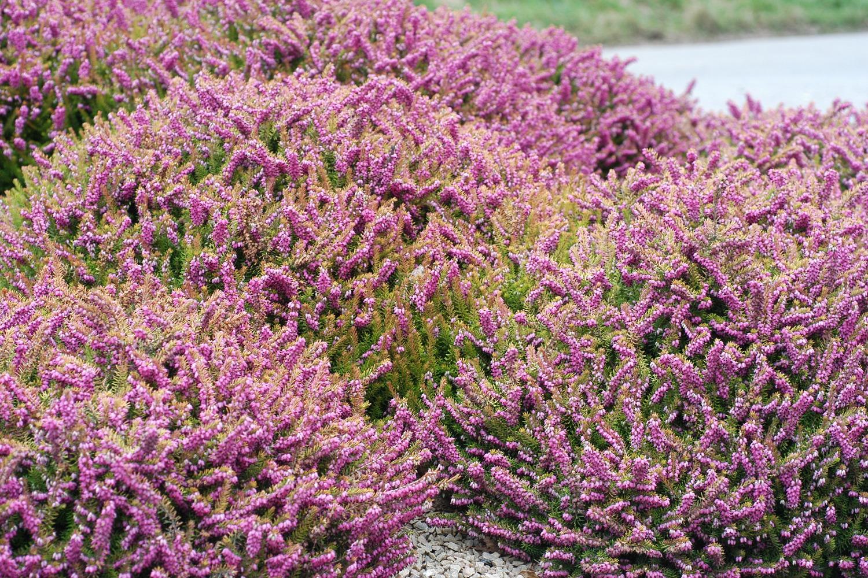 Arbuste Terrain Sec Ombre quels sont les 10 meilleurs arbustes couvre-sol ? - in my