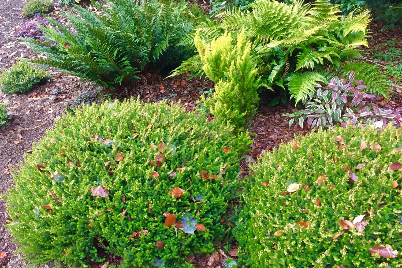 Erica Eva Gold jardin