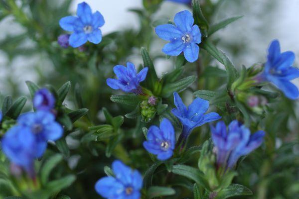 Lithodora Heavenly blue_0110