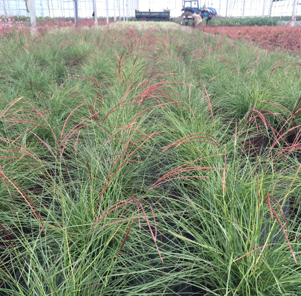 Miscanthus Cut one