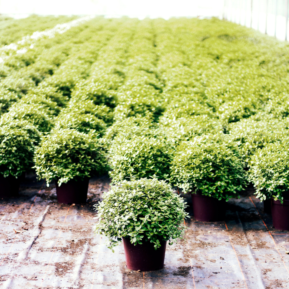 Pittosporum 'Golf Ball'