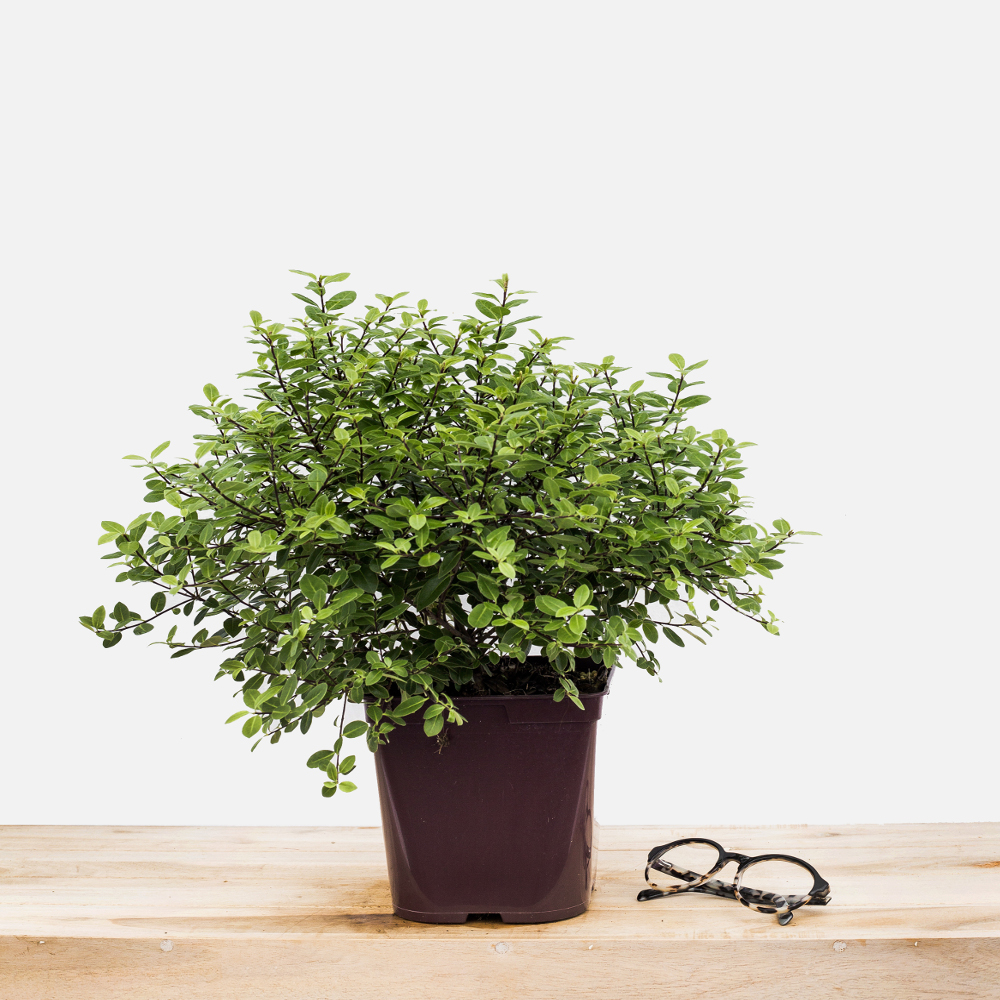 Pittosporum_Golf_Ball 1000x1000 pot_de_3_litres