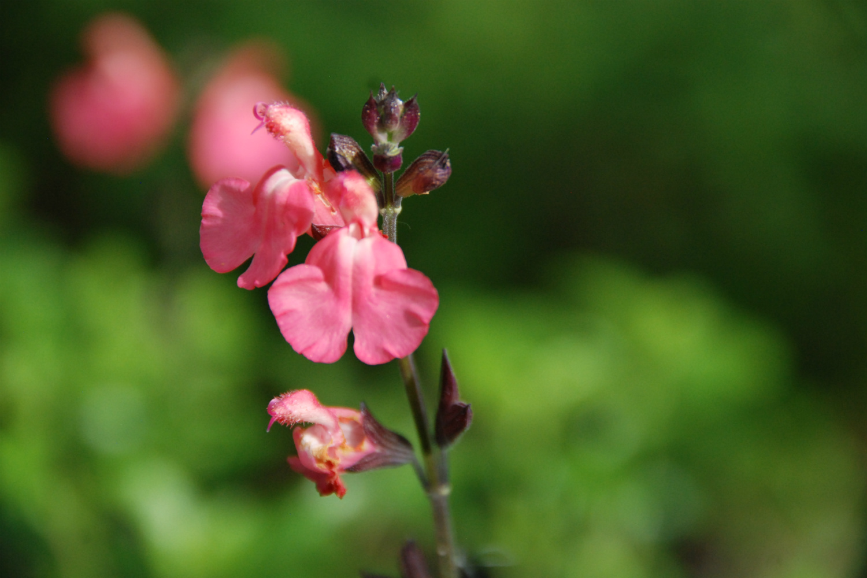 Salvia Pluenn DSC_1564