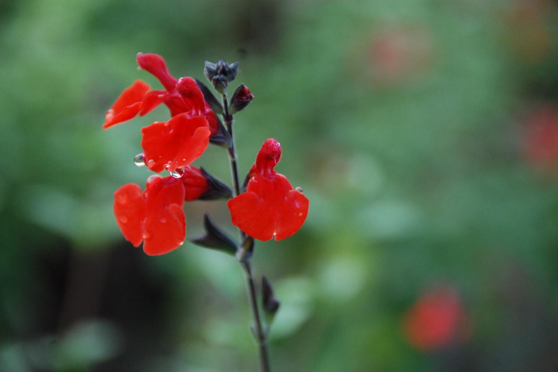 Salvia Royal Bumble DSC_1528