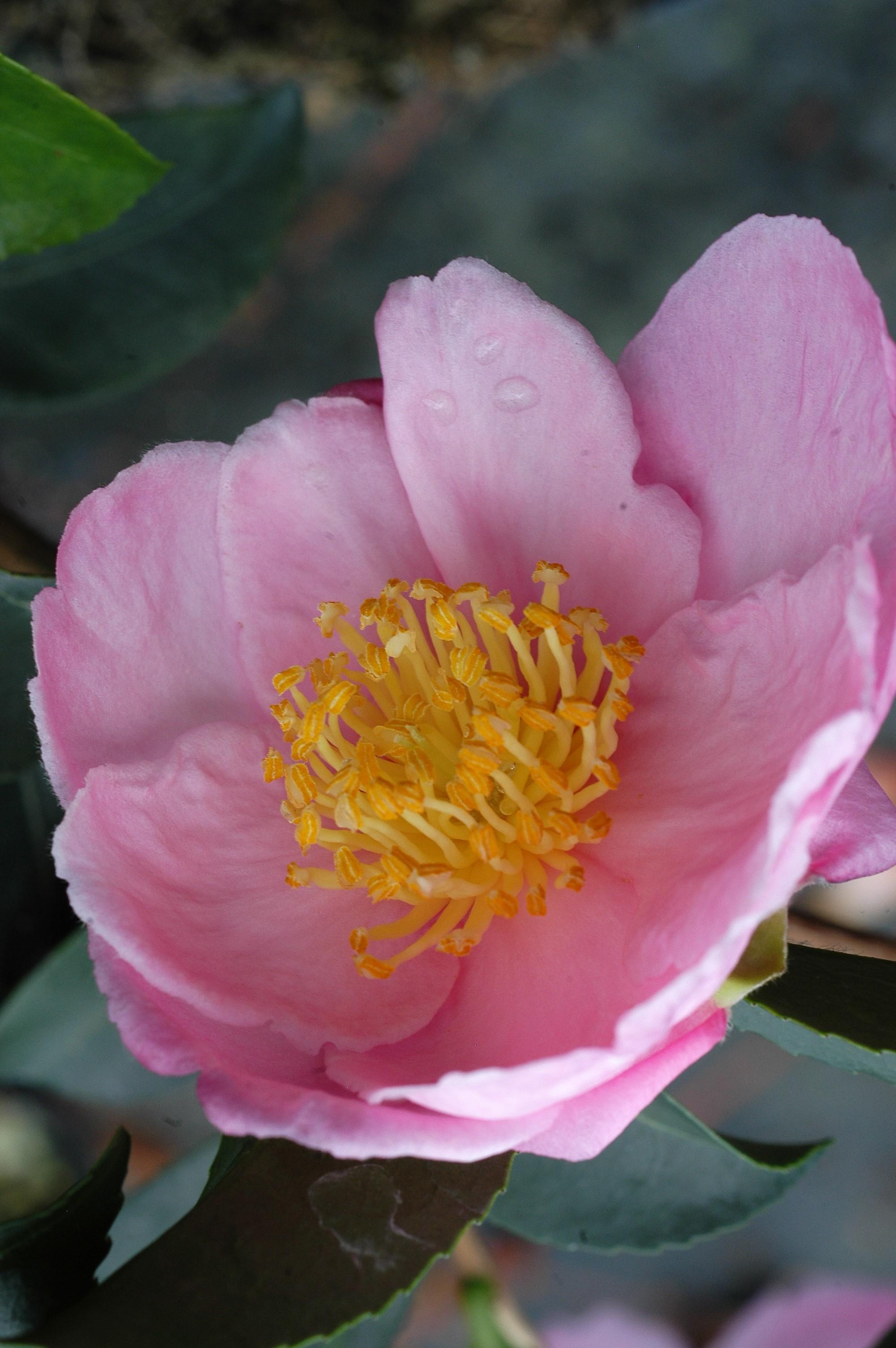 Camelia_Plantation_Pink