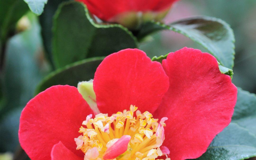 Les Camélias à floraison d'automne