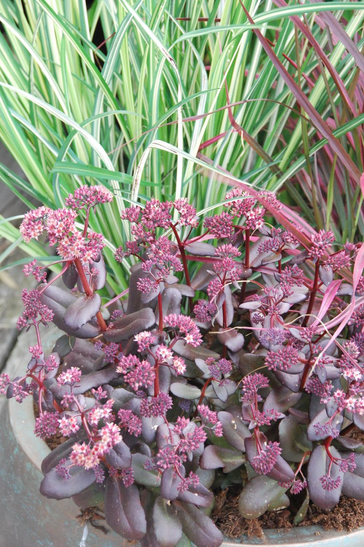 Anthericum pennisetum sedum DSC_2025