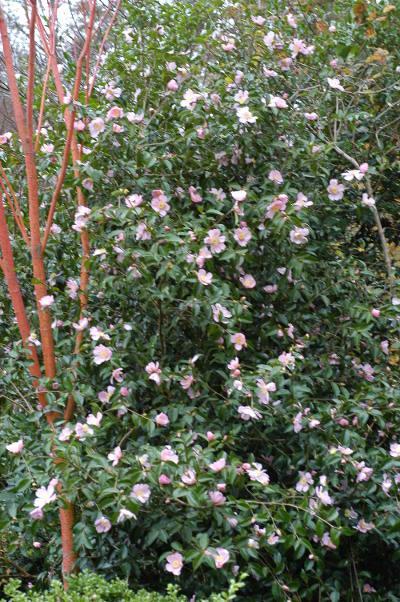 Camelia Plantation pink_1307
