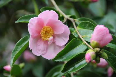 Camelia Plantation pink_6625