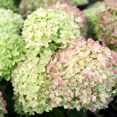 Les 4 meilleures variétés d'Hortensias paniculata