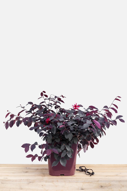 Loropetalum_Ever_Red_pot_de_5_litres