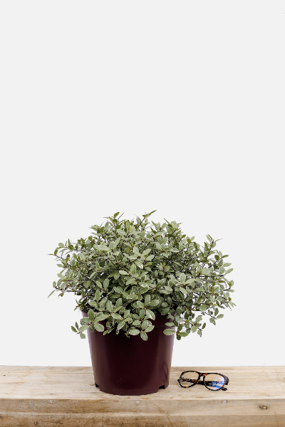Pittosporum-silver-ball-pot-de-8-litres-imfg-mars-18-192