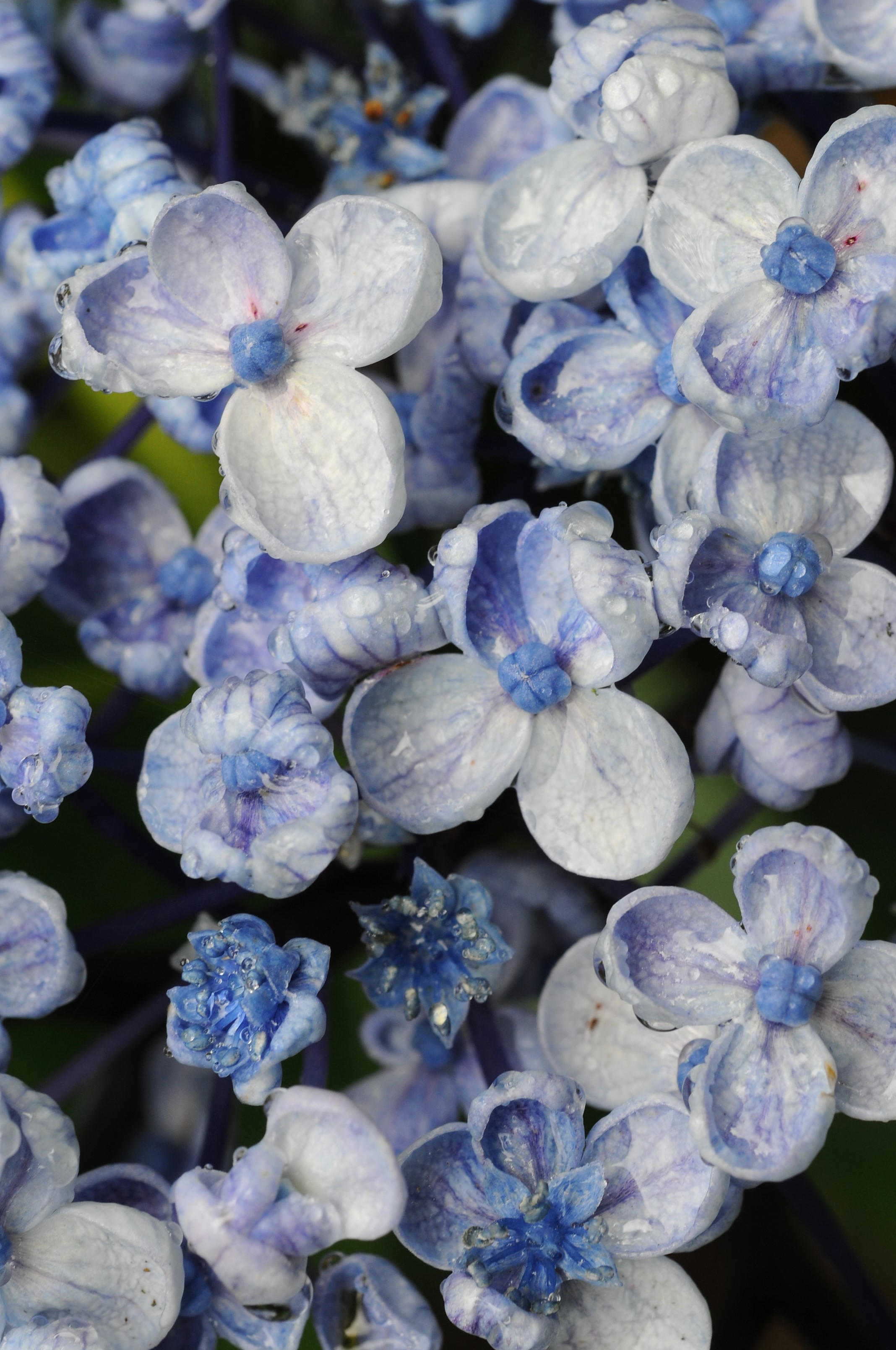 Quand et comment tailler mon hortensia ? - In my french garden