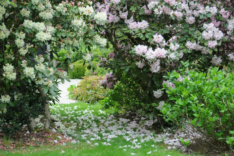 Rhododendron en fleurs IMG_0546