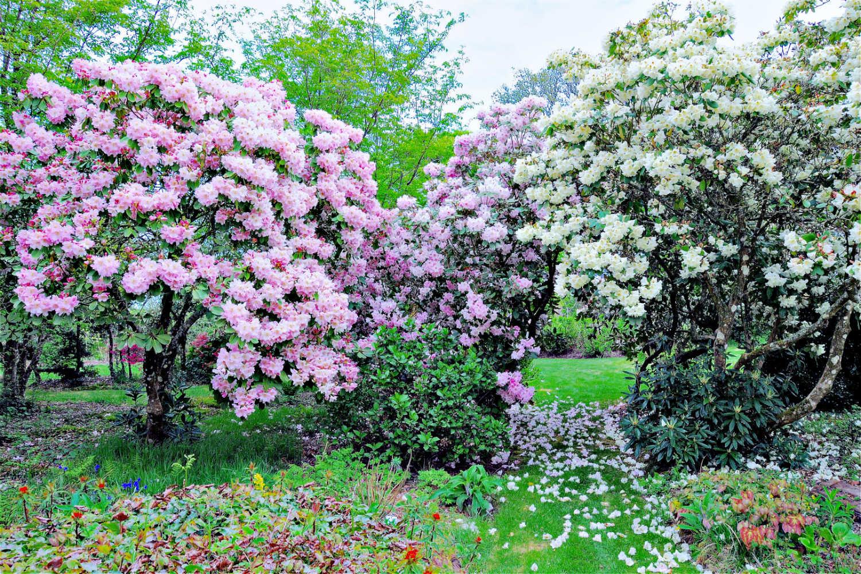 Rhododendron en fleurs TUNW9606
