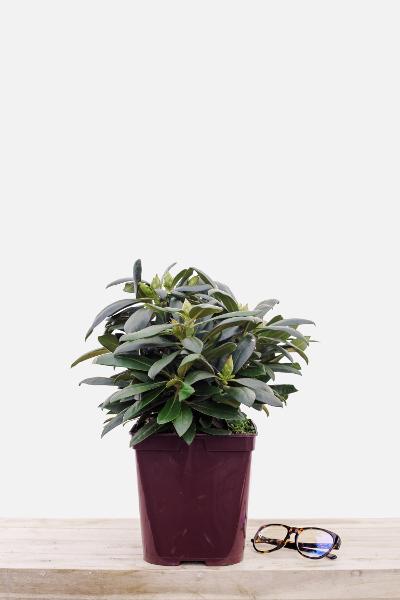Rhododendron-kalinka-pot-de-4-litres-imfg-mars-18-270