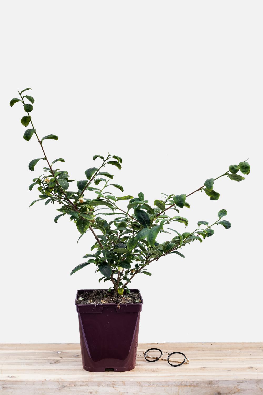 le th ier un arbuste qui vous fait voyager in my french garden. Black Bedroom Furniture Sets. Home Design Ideas