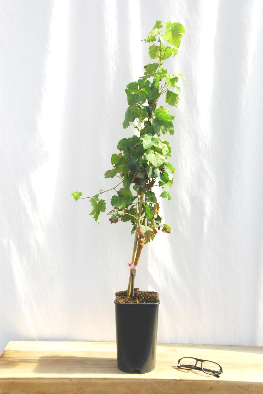 Vitis Chesselas rose DSC_2155B
