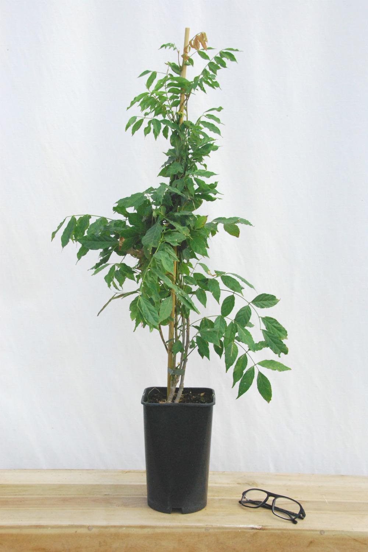 Wisteria sinensis pot de 3 litres