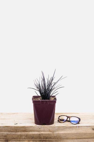 Ophiopogon-hosoba-pot-de-2-litres-imfg-mars-18-29