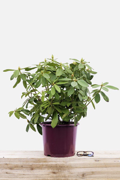 Rhododendron-anne-rose-witney-pot-de-15-litres-imfg-mars-18-343