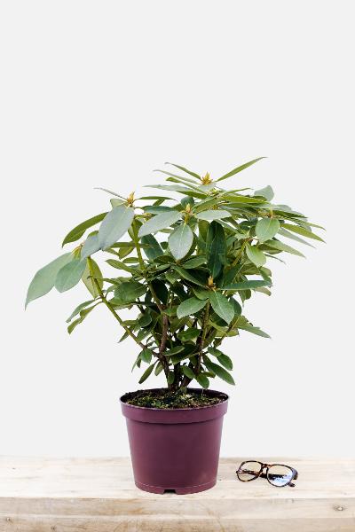 Rhododendron-anne-rose-witney-pot-de-5-litres-imfg-mars-18-198