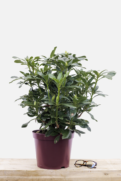 Rhododendron-mme-masson-pot-de-8-litres-imfg-mars-18-327