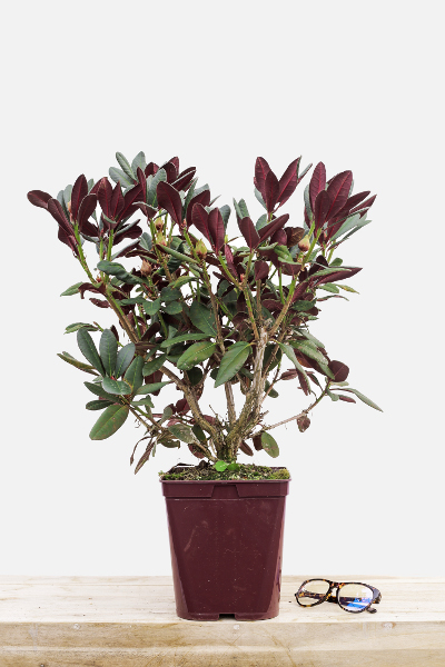Rhododendron-wine-&-rose-pot-de-4-litres-imfg-mars-18-280
