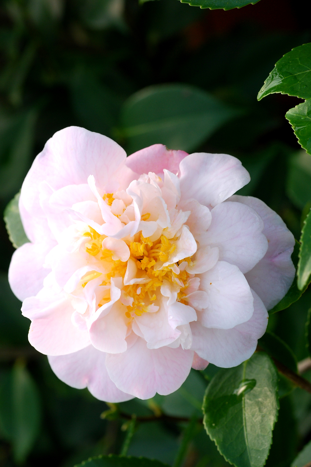 Camelia High Fragrance_0102