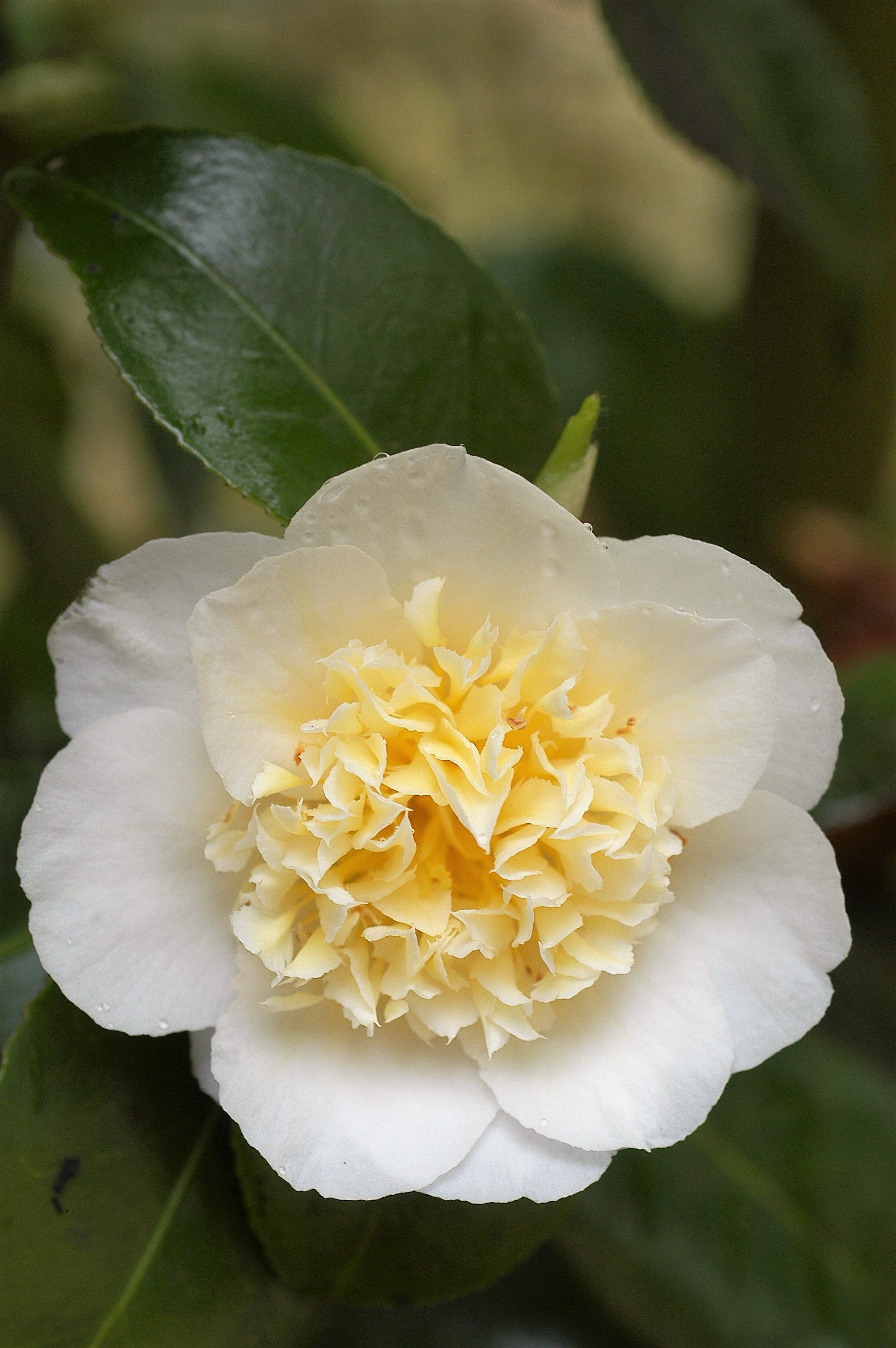 Camelia_Brushfields_yellow_0406