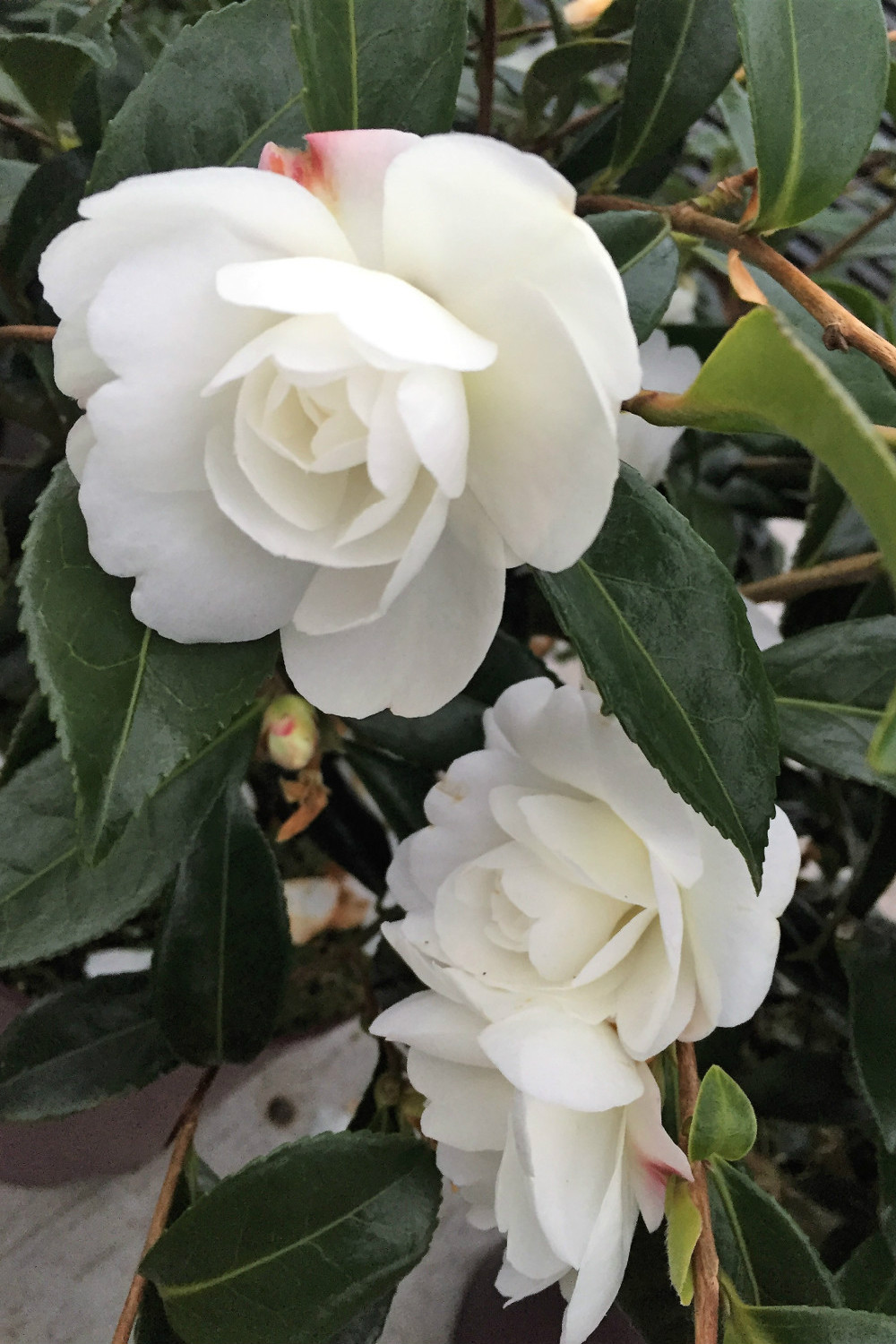 Camelia_Early_Pearly_IMG_1862