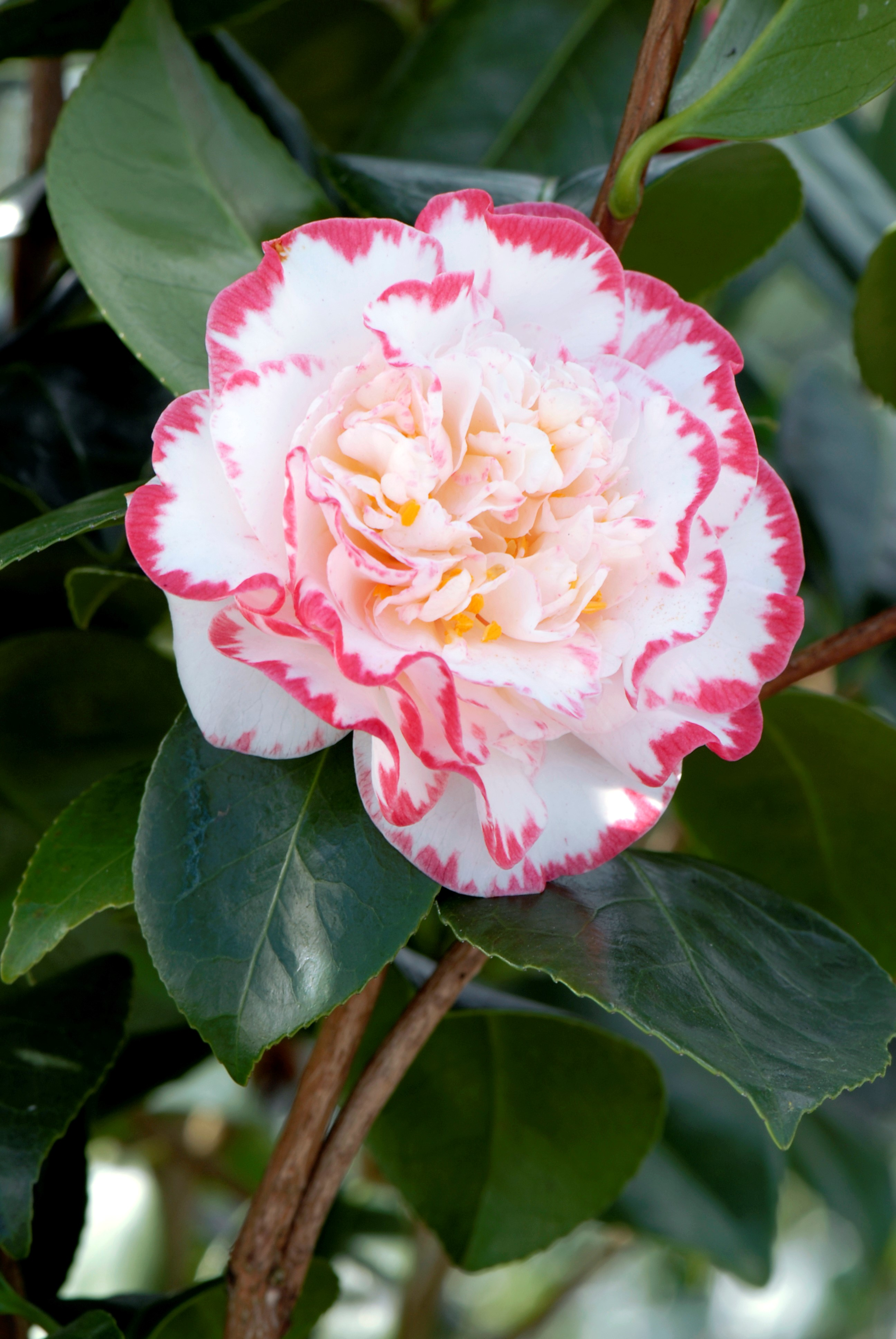 Camellia japonica 'Margaret Davis'. Collection PŽpinire RouŽ