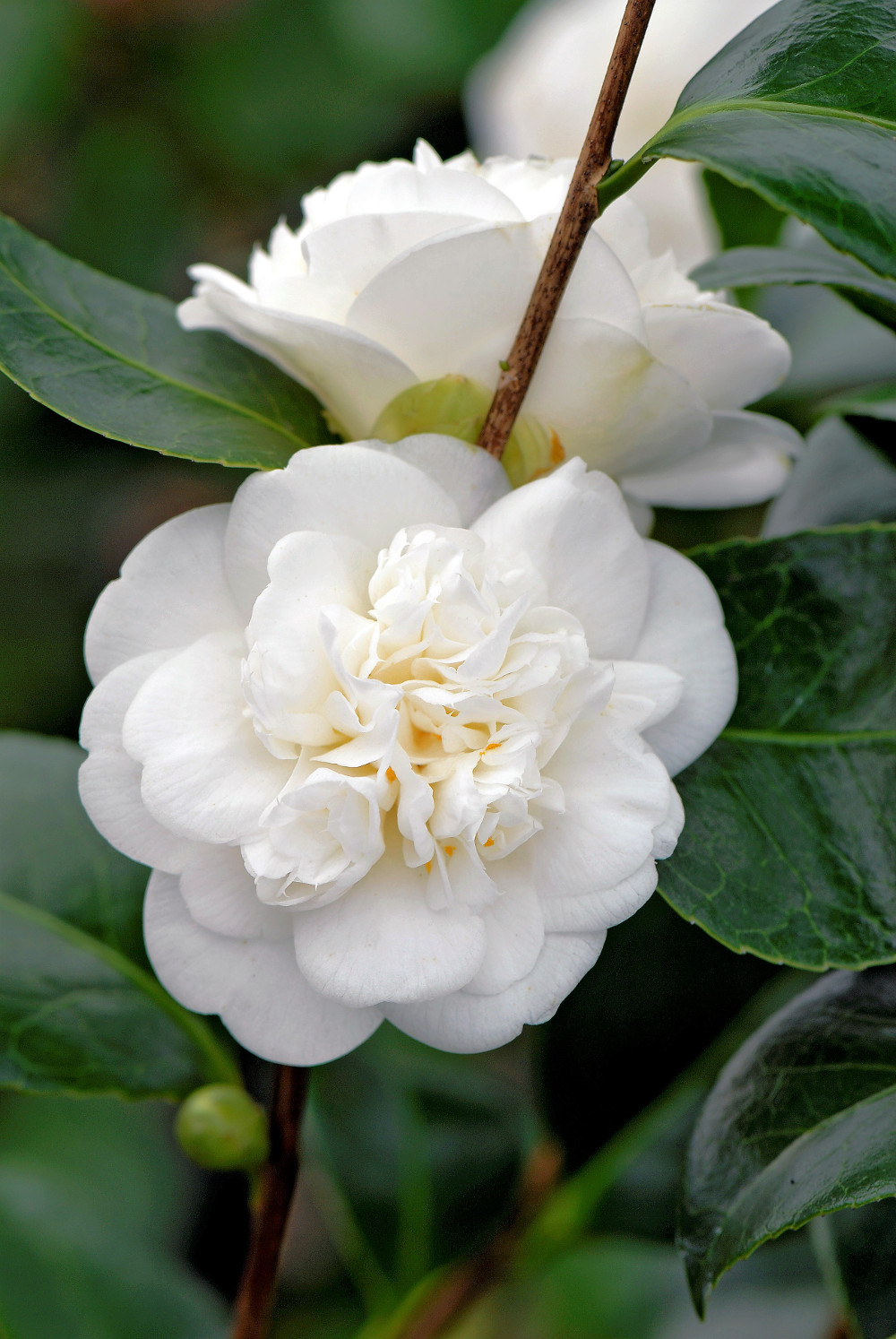 Camellia japonica 'Nobilissima'. Collection Pépinière Stervinou