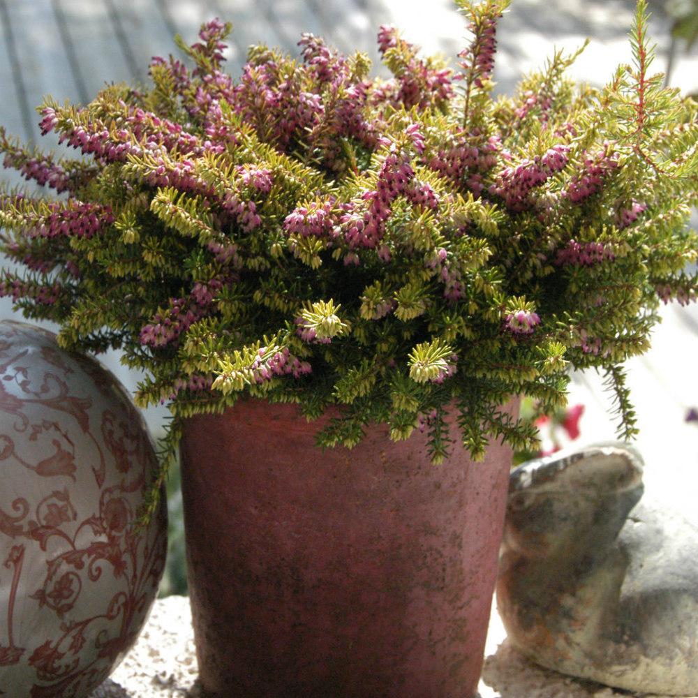 Plante Méditerranéenne Sans Arrosage où, quand et comment planter les bruyères ? ses origines
