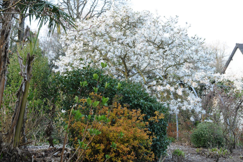 Magnolia Stellata DSC_5437