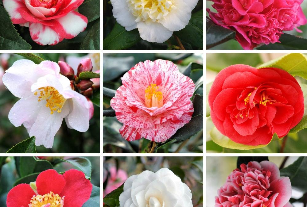 Quels sont les Camélias en fleurs en janvier ?